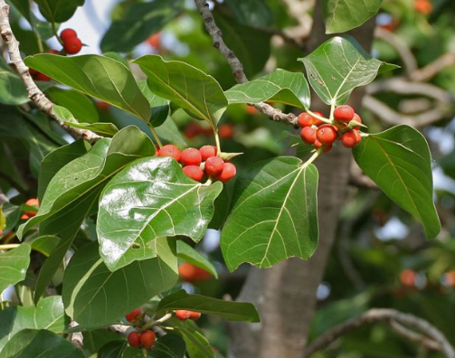बरगद के पेड़ से पके हुए फल
