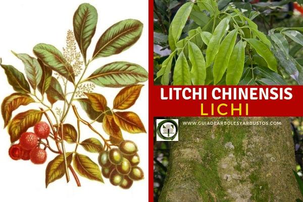 Litchi chinensis cuenta con tres subespecies: Litchi chinensis subsp. chinensis, Litchi chinensis subsp. philippinensis, Litchi sinensis subsp. javensis.