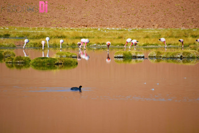 Os Flamingos do Atacama no Rio Putana