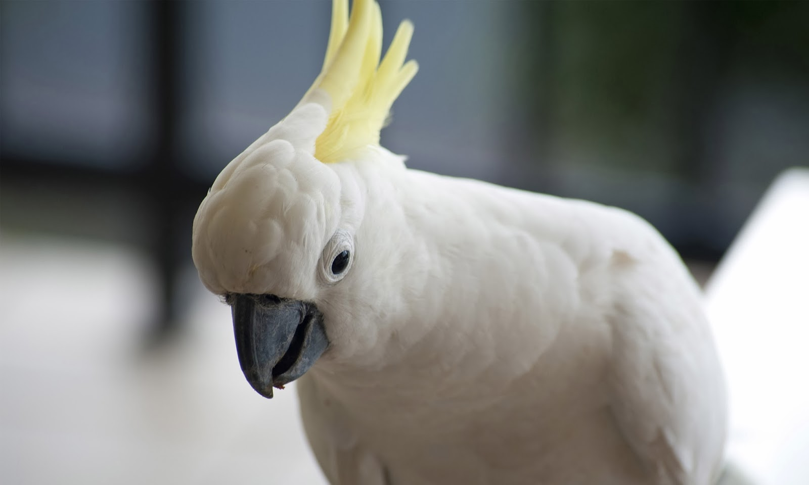 Cinema Wallpapers With Quotes Sulphur Crested Cockatoo Hd Wallpapers Hd Wallpapers
