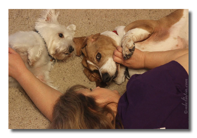 Getting belly rubs with Bentley Basset Hound and Pierre Westie