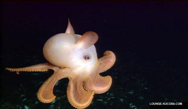 hewan hewan aneh, DUmbo Octopus