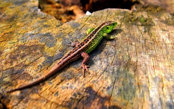 Wallpaper: Green Lizard