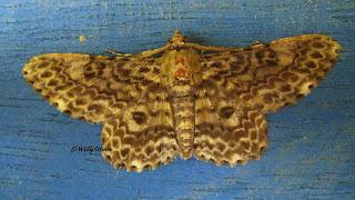 papillon d'Indonésie