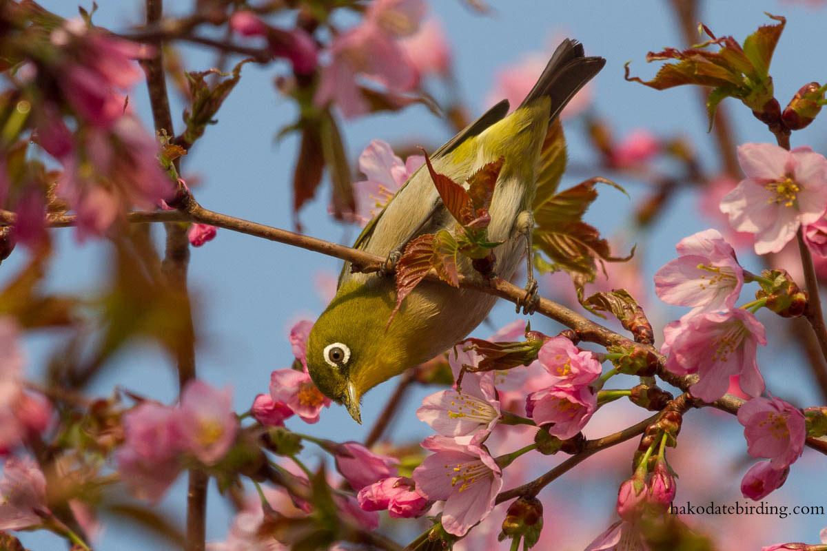 Hakodate Birding: Another Spring Day