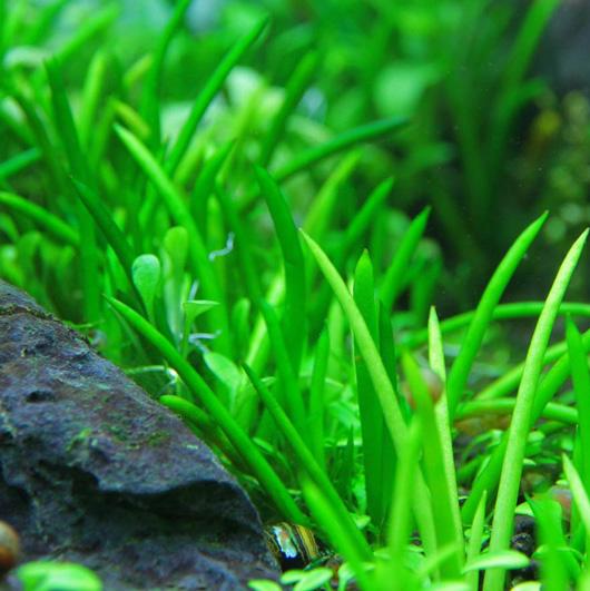 Phụ kiện thủy sinh - cây cỏ ống