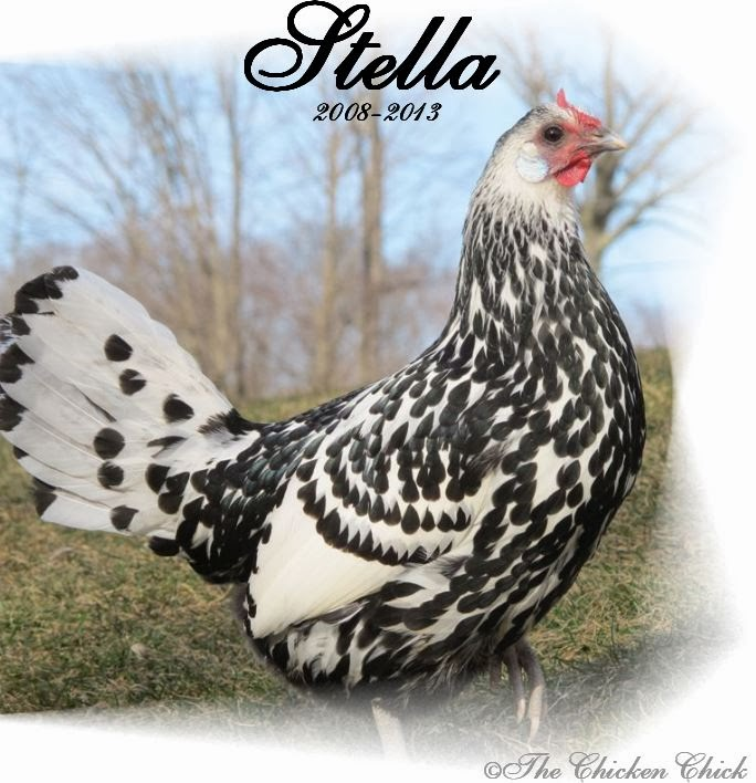 Stella was put to sleep due to severe egg-binding. She did not exhibit the typical symptoms outlined above, the only clues that she had a problem at all were a change in droppings, activity level and a hard abdomen.