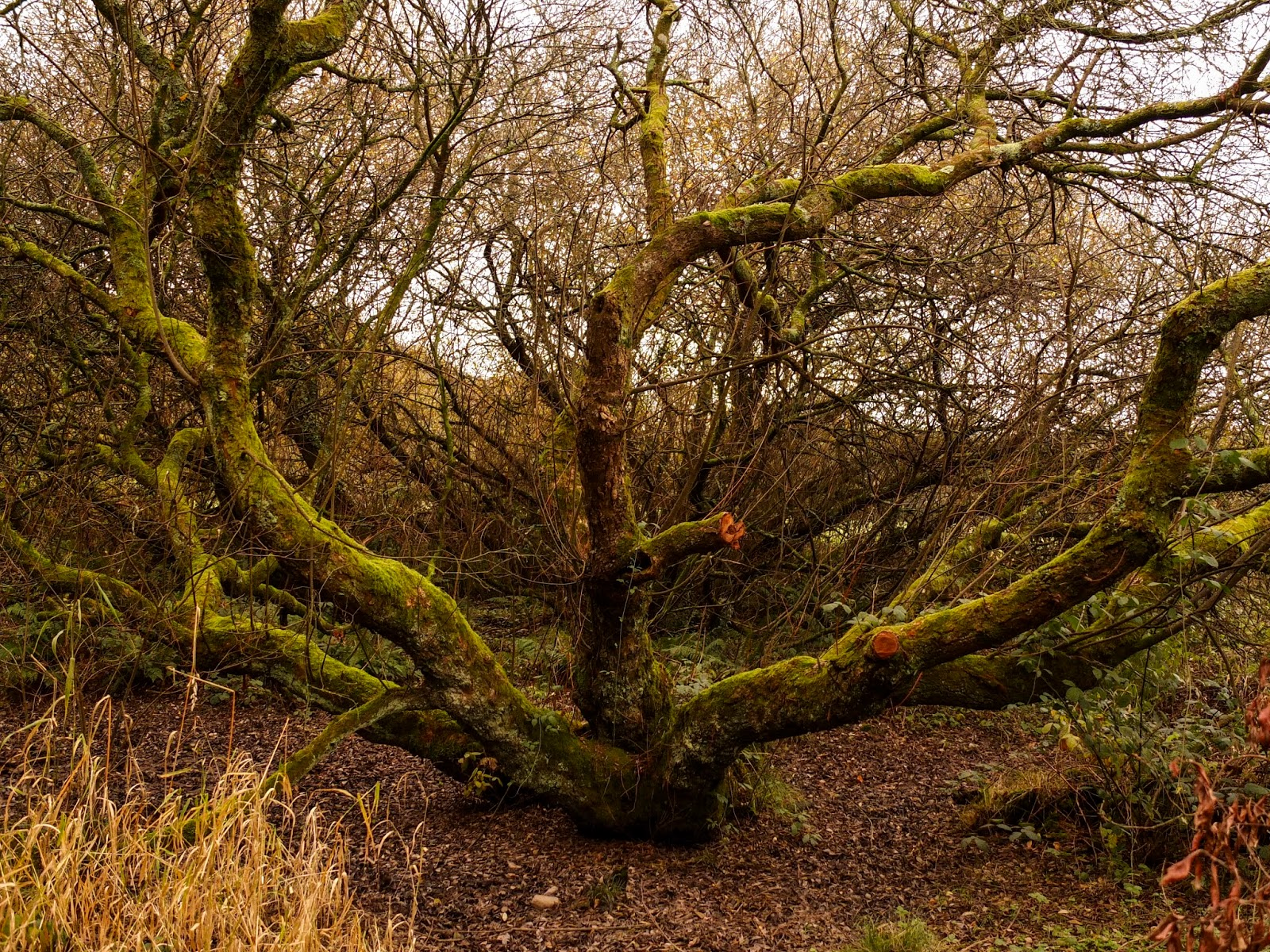 An ancient and gnarly looking tree in Ballicolling Regional Park.