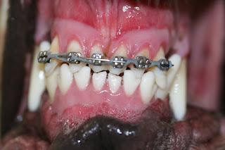 Resultado de imagem para cães mordedura tesoura dentição
