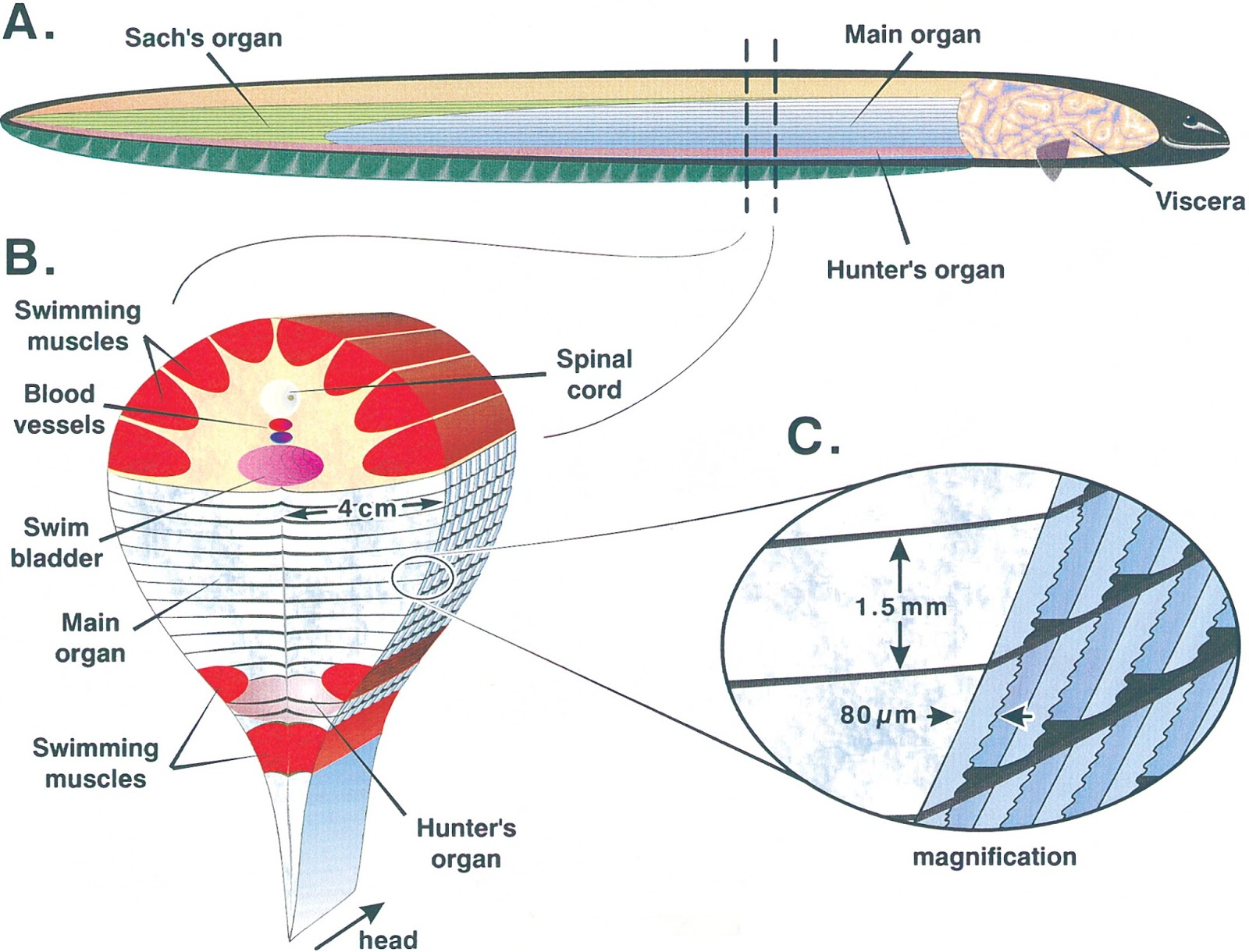 Shark Internal Organs Diagram Ceiling Fan Wiring Uk Amazing Science Electric Eel How It Generate A High