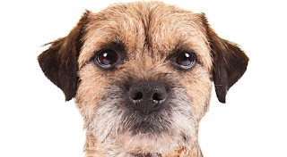 Everything about your Border Terrier