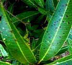 Diseased Mango Leaves