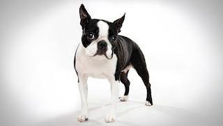 Cachorros doble merle tendrán grandes cantidades de blanco en sus abrigos y algunos parches merle