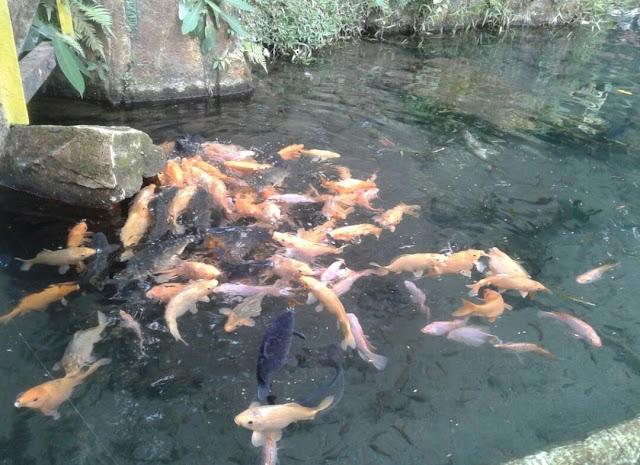 Kolam ikan Ubalan Waterpark Pacet Mojokerto