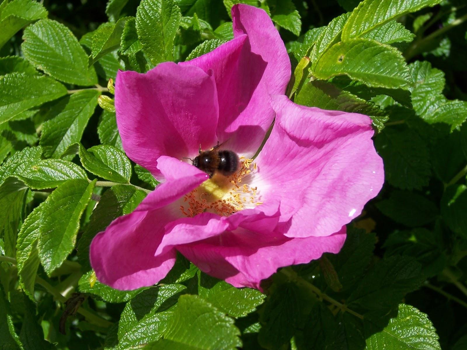 rose für bienen
