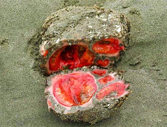 Pedra viva- Pedra Sangue - Pyura chilensis