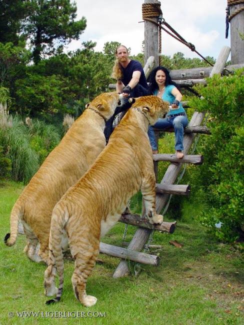 Hércules, o maior felino do mundo