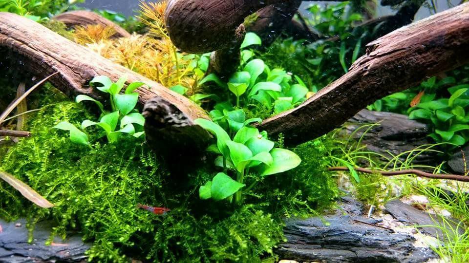 Rêu weeping sing xanh mướt trong hồ thủy sinh