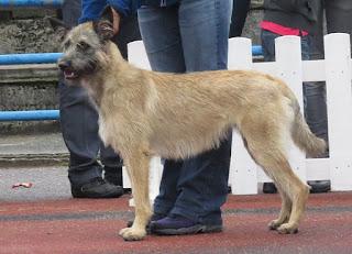 Bouvier des Ardennes-pets-dogs-dog breeds