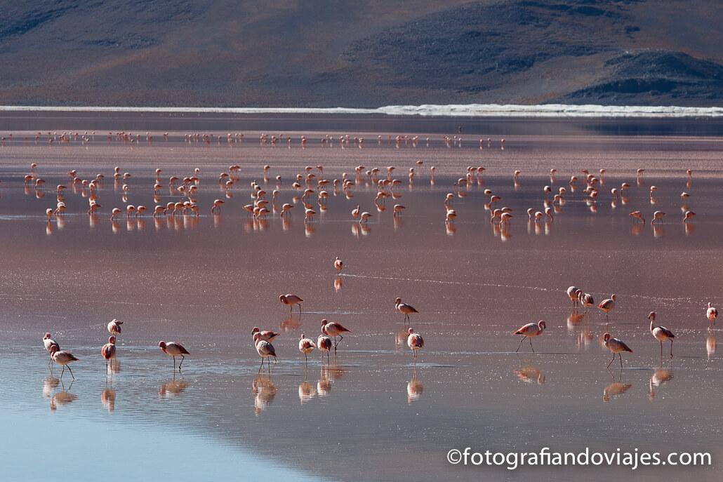 Flamencos Laguna Colorada parque Eduardo Avaroa