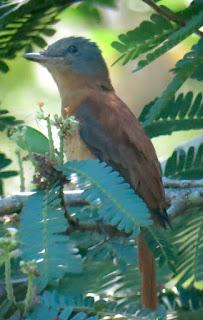 Rufous-tailed Attila