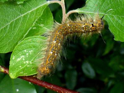 Phyllodesma japonica caterpillar
