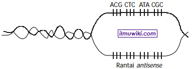 Urutan basa mRNA hasil transkripsinya - soal basa mRNA