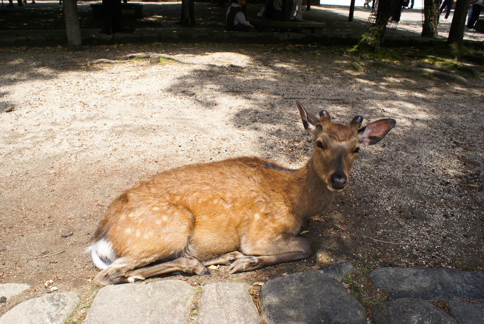 deer shika miyajima itsukushima japan