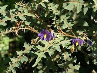 Solanum pyracanthe - Solanum pyracanthum - Solanum pyracanthos - Morelle de Madagascar