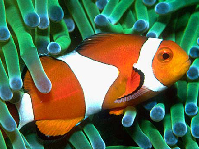 Animals names beginning with c animals name a to z for Clown fish scientific name