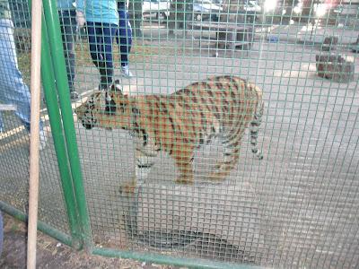 conhecendo a América Latina; Buenos Aires; Zôo Lujan; tigre; filhote de tigre