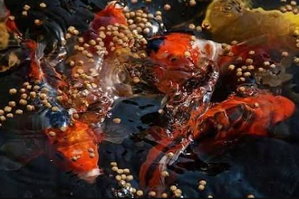 Cara Membuat Makanan Alami Ikan Koi dengan Mudah dan Cepat