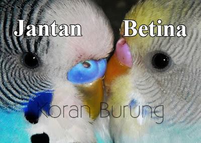 Parkit merupakan salah satu binatang rumahan favorit keluarga Cara Jitu Membedakan Burung Parkit Jantan Dan Betina