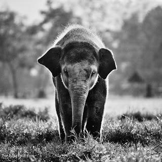 صور افيال