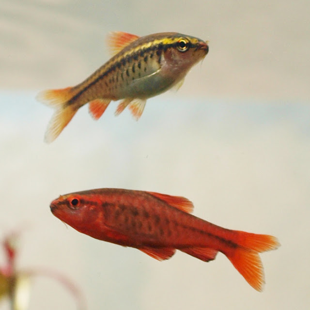 How to Breed Cherry Barbs - RictasBlog