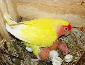 Cara Beternak Lovebird Secara Koloni Untuk Pemula