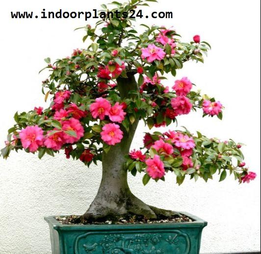 Theaceae Camellia Plant PICTURE