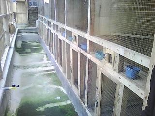 Burung Kacer - Kandang dan Sarang Untuk Mempermudah Penangkaran Burung Kacer