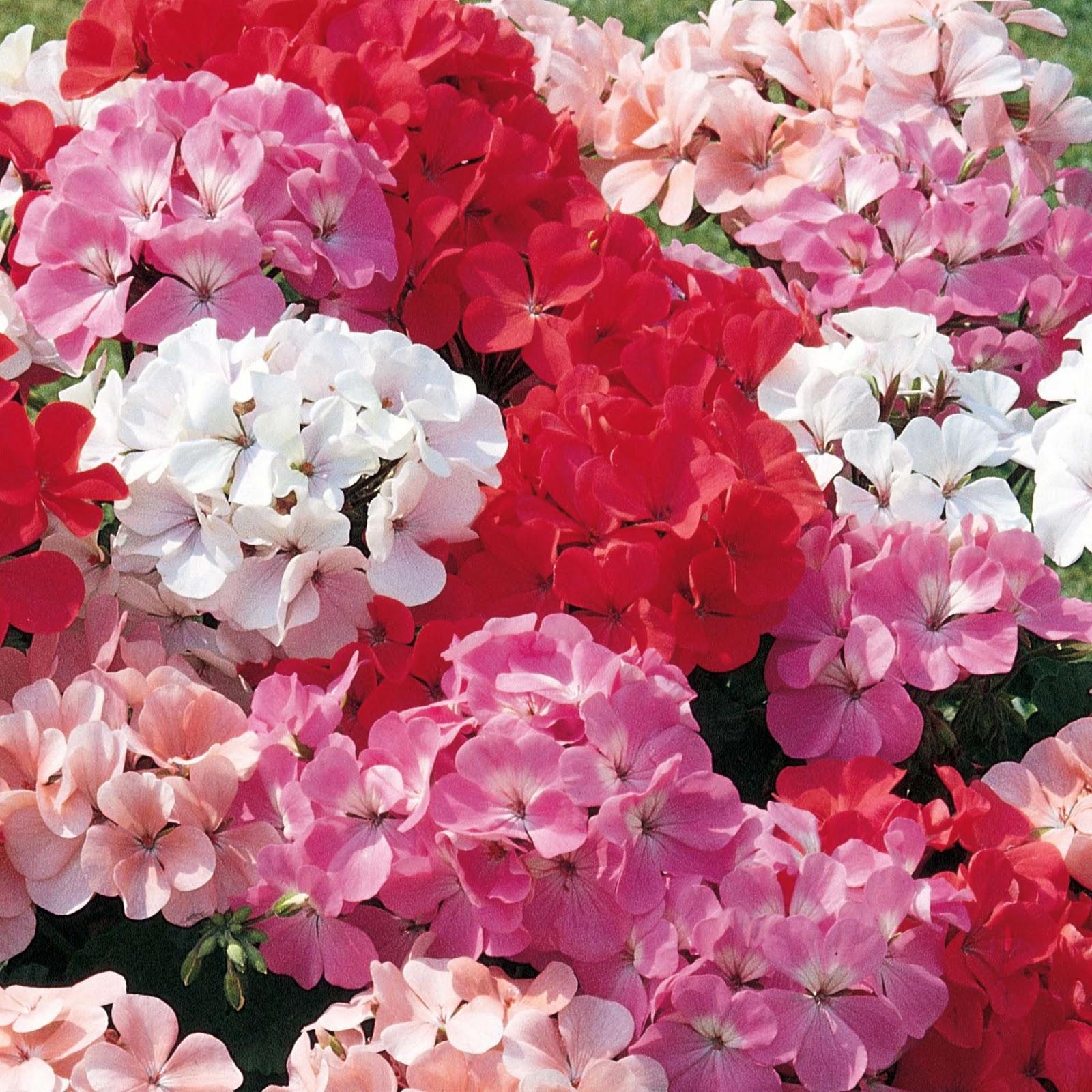 Types Of Geraniums: Romantic Flowers: Geranium Flower