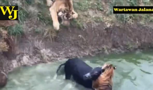 Zoo Kena Kecam Kerana Menayang Aksi Harimau