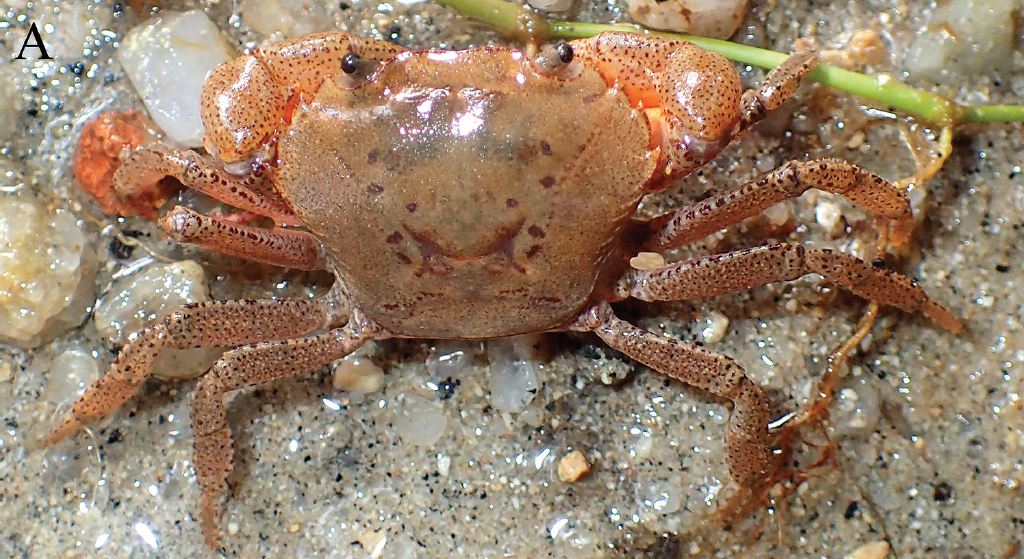 A new freshwater crab, from Malaysia