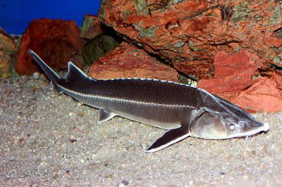 Sterlet Fish