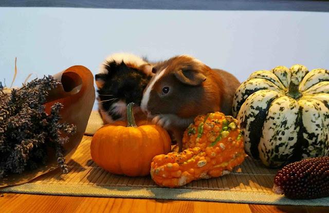 Meerschweinchen verstehen: Meerschweinchen Muck und Holly