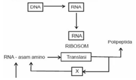 Soal un substansi genetika dan pembahasan mahkota sains diagram langkah sintesis protein bagian x pada diagram di atas menunjukkan ccuart Images