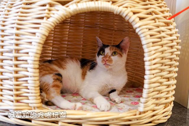 14608707 1099289600124284 184382776460271682 o - 熱血採訪 朵貓貓咖啡館 - 貓咪餐廳