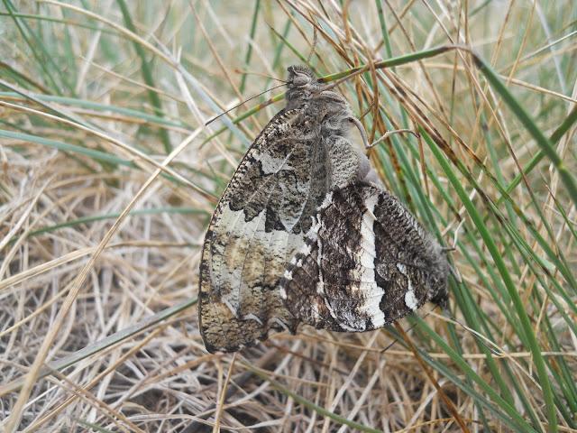 Pareja de mariposas Brintesia circe en copula
