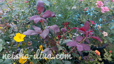 Bunga Mawar (Rumah Bunga Neisha)