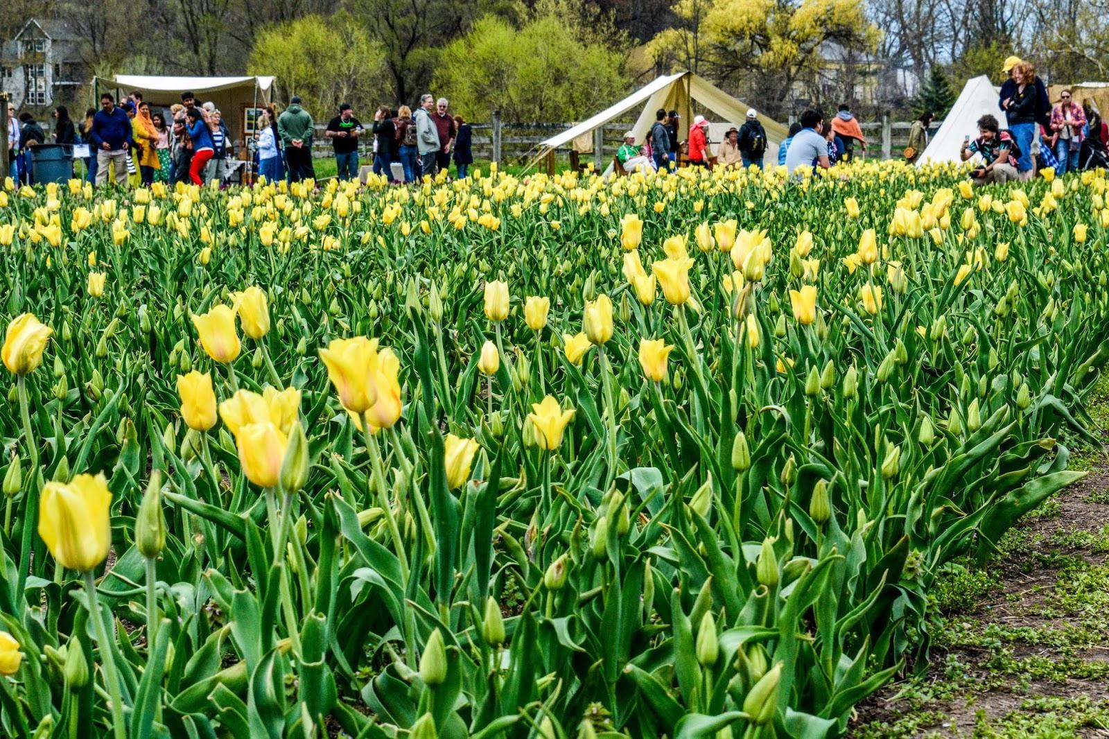 Holland Tulip Festival