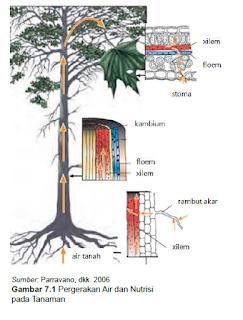 Pergerakan air dan nutrisi pada tanaman