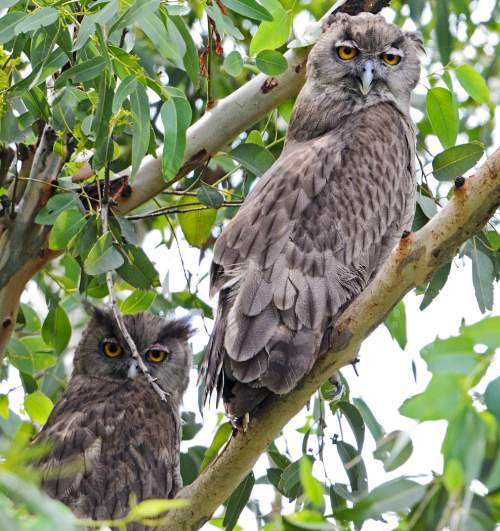 Birds of India - Photo of Dusky eagle-owl - Bubo coromandus